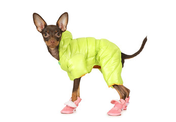 Puppy the toy terrier in a jacket and boots