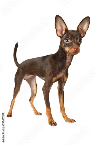 Puppy the Toy Terrier dog