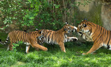 Malayan tiger, mother with kittens