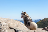 Husky dog looking back standing on a stone in the mountains