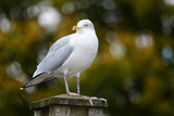 Portrait of a seagull perching on a wooden post in the park - 232674718