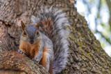 squirrel - 232685716