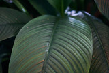 Exotic plant leaves background texture, close-up. Beautiful - 232706568
