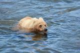 brown bear in water - 232715167