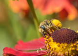 A female Long-horned Bee (Melissodes) gathering pollen and nectar on a red Sneezeweed flower (Helenium) - 232732792