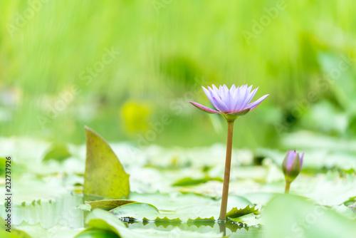 Leinwandbild Motiv Purple lotus flowers