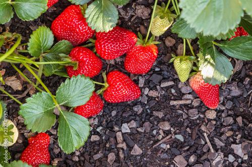 closeup of fresh ripe strawberries growing in garden