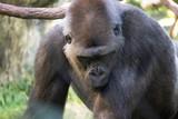 Captive Gorilla Relaxes in outdoor sunshine - 232753735