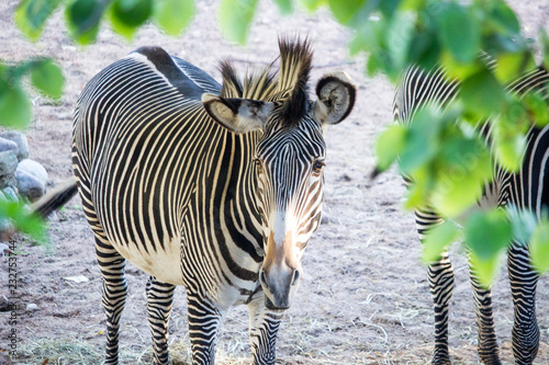 Wall mural Zebra Looks at camera from captivity with leaves of tree in foreground