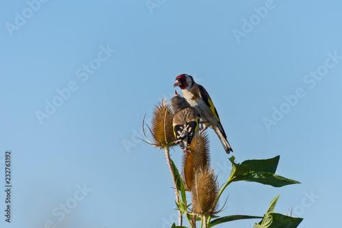 dwa szczygły - Carduelis carduelis siedzi na kolczastym roślin