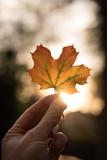automne saison feuille couleur érable lumière arbre main ramasser ballade forêt automnal - 232767576