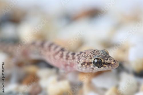Mediterranean House Gecko Hemidactylus Turcicus Buy Photos Ap