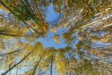 Crowns of high birches on an autumn sunny day as a background or backdrop. Bottom view - 232769976