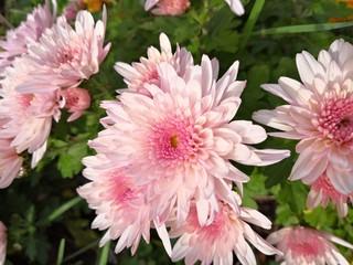chrysanthème rose pale