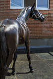 Wet young black horse stands full-length and glistens in the sun - 232774971