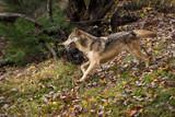 Grey Wolf (Canis lupus) Runs Left Through Autumn Leaves