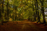 Autumnal Beech trees and woodland walk, Woodbury Common, Devon - 232776139