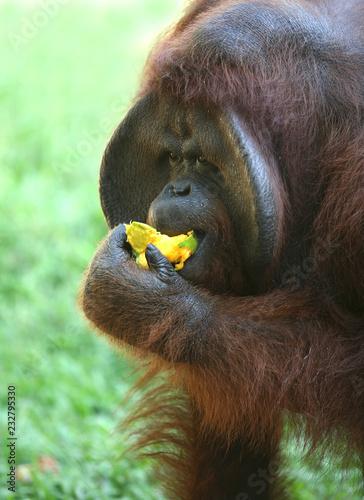 Fridge magnet Orangutan