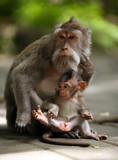 Family of monkeys - 232795705