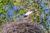 Pair storks in the nest