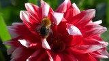 Close-up of a fluffy striped Bumblebee Bombus pascuorum (Bombus thoracicus, Bombus arcticus) collecting pollen and nectar on a red dahlia flower of Zorro variety in the foothills of the Caucasus - 232809190