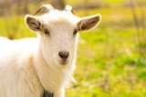 Close up portrait of a white goat in the green field. Space for text. Earth day. Goat in the village. - 232821155