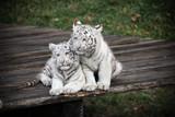 2 kleine Weiße Tiger