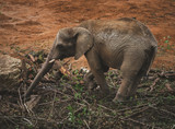 Elephant - 232823129