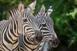portrait of zebras