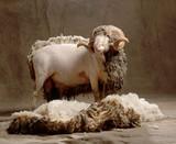 wool sheep  - 232834382