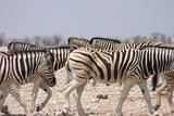 Zebra 11 © Koos