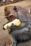 Monkey Eating Corn on the Cob with All Hands - 232836152