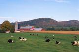 Herd of cross cattle farm , a versatile beef breed, combines lean Cows beef characteristics - 232838387