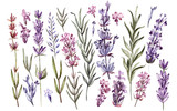 Set of watercolor lavender flowers on white background - 232839103