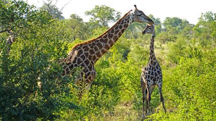 Giraffen in der Wildnis /Giraffen im Krüger Nationalpark in Südafrika.