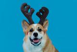 dog on christmas