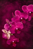 Close-up of a stem of pink Phalaenopsis orchids in bloom on a painted background.