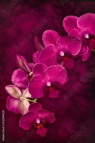 Zakończenie trzon różowe Phalaenopsis orchidee w kwiacie na malującym tle.