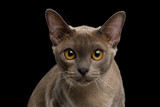 Portrait of Gray Burma Cat Stare in Camera isolated on black background, front view - 232850961