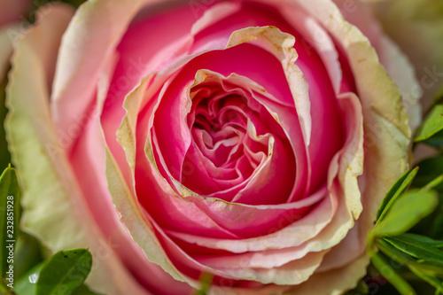 Rose - 232851928