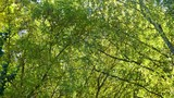 Beautiful green treetops of leafy trees. Real time 4k video footage. - 232862791