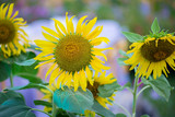 Sunflowers garden. Sunflowers have abundant health benefits. Sunflower oil improves skin health and promote cell regeneration. Yellow sunflowers grow in the field.
