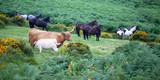 Vacas y caballos en el Parque Nacional de Dartmoor - 232880756