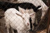 goat animal farm - 232885769