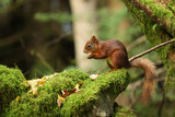 Red Squirrel - 232895164