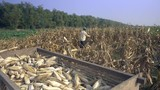 Farmer harvesting corn in a field with a wooden cart filled with corn plants in foreground - 232896771