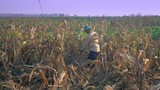 Farmer picking corn by hand and using a bamboo basket to carry it - 232904711