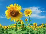 Prettiest sunflowers field with cloudy blue sky