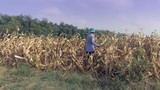 Farmer picking corn by hand and using a bamboo basket to carry it - 232913123
