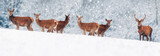 A group of beautiful male and female deer in the snowy white forest. Noble deer (Cervus elaphus).  Artistic Christmas winter image. Winter wonderland. Banner design.